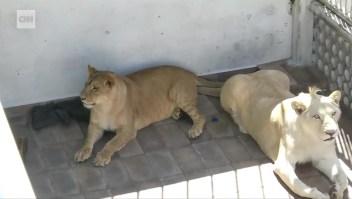 Rescatan tres leones africanos de una azotea en México