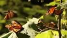 Las mariposas monarcas despiertan para volver al norte