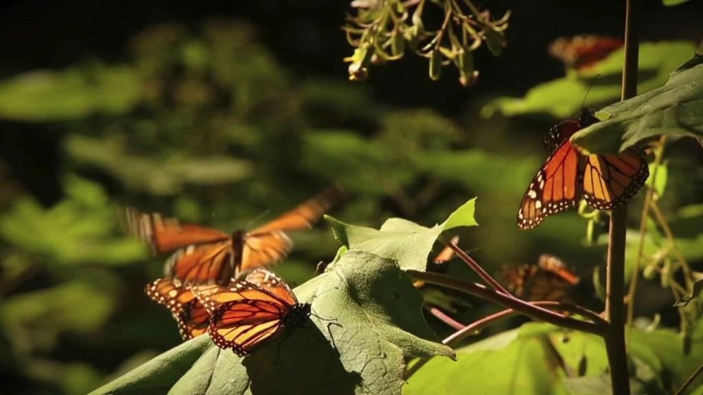 El santuario de las mariposas monarca