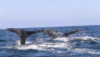 Cantan, se aparean y dan a luz: esto hacen las ballenas en México