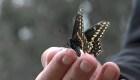 Enjambres de mariposas migratorias llegan a California por el superflorecimiento