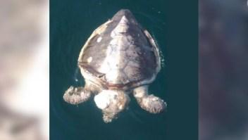 Extraña mortandad de tortugas marinas en México