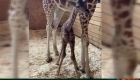 La jirafa April vuelve a ser mamá