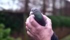 Esta paloma cuesta por $1,4 millones de dólares