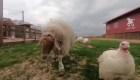 Descubre esta granja para animales discapacitados