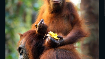 Astrofísica ayuda a orangutanes