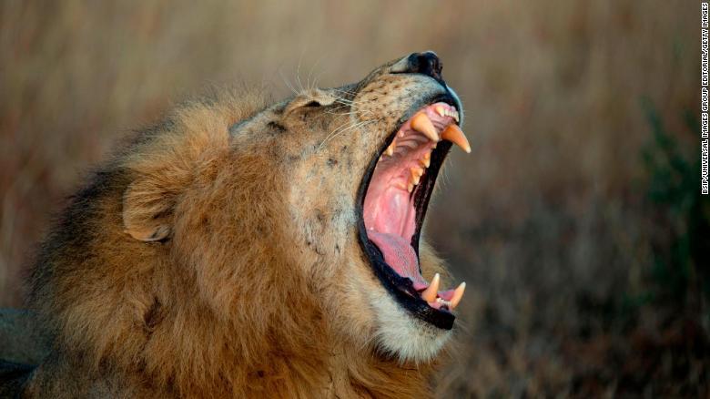 Parque Nacional del Serengeti. León bostezando, Panthera leo, Tanzania. (Foto por: BSIP / UIG a través de Getty Images)
