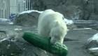Le regalan un pepinillo gigante a osa polar en zoo