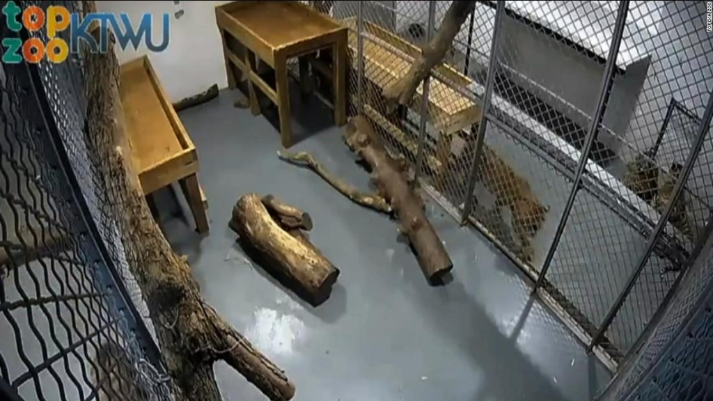zoo-topeka-tigre-ataque