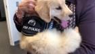 Adorable perrito policía es contratado para un trabajo noble