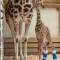 """Jirafa bebé recibe """"zapatos"""" ortopédicos"""