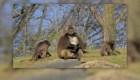 Hospital de Nueva York realiza cirugía de corazón a tres monos