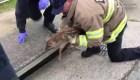 Bomberos rescatan a un pequeño ciervo del desagüe