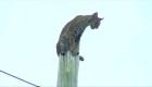 Rescatan a particular felino de las alturas