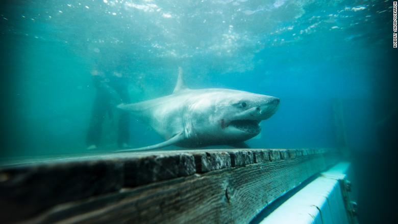 Tiburón blanco Long Island