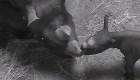 Nació un rinoceronte negro en Chicago