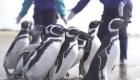 Liberan y devuelven al mar a 15 pingüinos en Argentina
