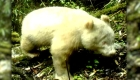 Captan imágenes de oso panda con albinismo