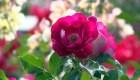La rosa más linda del mundo es de Alemania