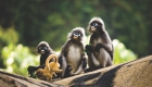 Calentamiento global amenaza al 40% de los primates