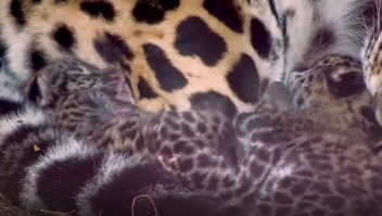 Yaguaretés de cumpleaños: conoce a estos tiernos felinos