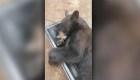 Un oso se refugia en un armario para echarse una siesta