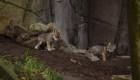 Estos cachorros de lobo nacieron en el Zoológico de Chapultepec