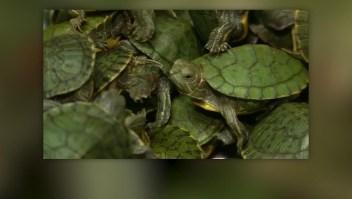 Confiscan miles de tortugas en aeropuerto de Malasia