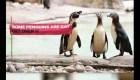 Pingüinos se suman a la celebración gay