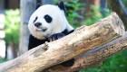 China abrirá su primer parque nacional para pandas gigantes