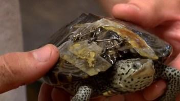 Los broches de sostén pueden salvar tortugas