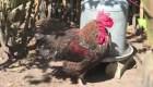 A juicio un gallo en Francia
