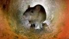 EE.UU. quiere envenenar a todos los ratones de las Islas Farallon