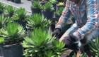 Así afectan las redadas al sector agrícola de la Florida
