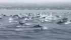 Captan en video una manada de delfines en California