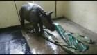 Rescatan a bebé rinoceronte en India