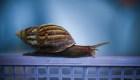 Estos caracoles compiten por cual es el más rápido