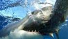 El tiburón más mortal promedia 314 ataques