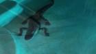 Florida: Aparece un cocodrilo en una  piscina privada