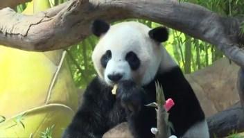 Trillizos panda cumplen 5 años y lo celebran a lo grande
