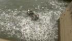 Cientos de peces saltan del agua electrocutados