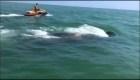 Estos pescadores lograron devolver al mar a una ballena