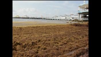 Toneladas de sargazo inundan las costas de Miami