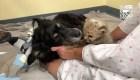 Un perro cuida a cachorro de guepardo en un zoológico