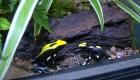 Exhiben en República Checa ranas doradas en peligro de extinción