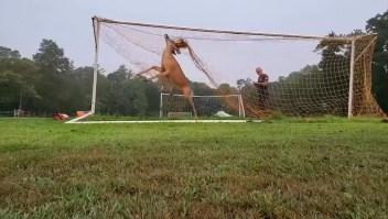 Hombre libera a un ciervo de una red de fútbol