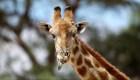 106 países a favor de restringir el comercio de pieles de jirafas