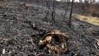 Animales afectados por los incendios del Amazonas