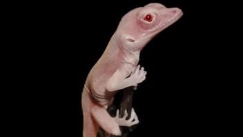 Modifican genéticamente primeras lagartijas con albinismo