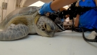 Esta tortuga fue hallada con un arpón en el cuello